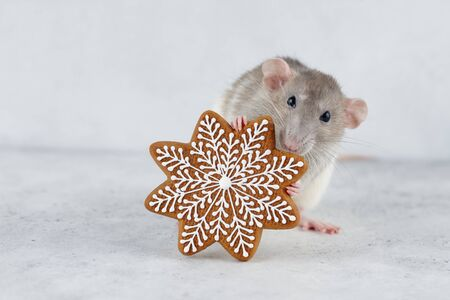 Rat holding gingerbread star cookie. Chinese new year 2020 creative concept.