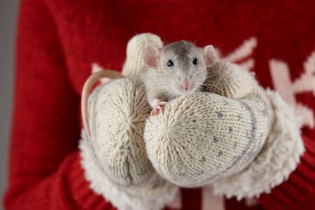 Womans hands in warm winter mittens holding gray rat, close up view. Chinese new year 2020 creative concept. Stockfoto
