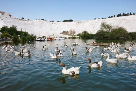 Goose flock in blue lake in Pamukkale park, Turkey Stock Photo