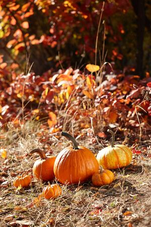 Orange pumpkins in autumn forest, colorful leaves background Banco de Imagens