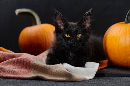 Halloween symbol. Black maine coon cat in plaid blanket with orange pumpkins
