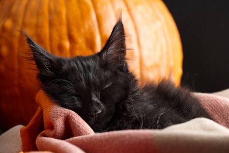 Halloween symbol. Black maine coon cat sleeping in plaid blanket on orange pumpkins background