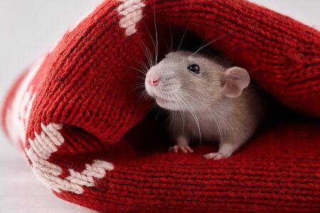 Rat hiding in Christmas winter sweater. New Year 2020 symbol.