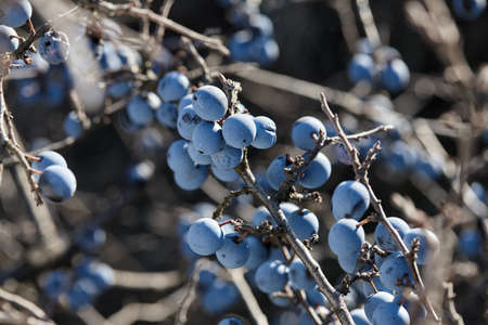 Blackthorn or sloe blue berries close up. Autumn nature.
