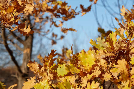 Orange oak leaves in autumn forest, close up view