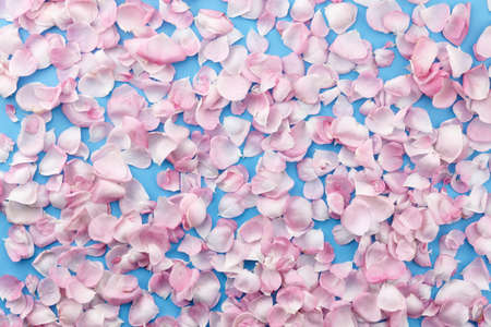 Pink rose petals on blue background, top view