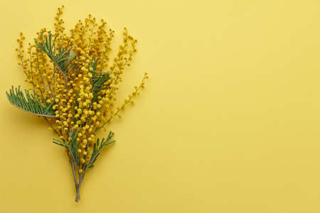 Mimosa flowers branch on yellow background. Symbol of spring.