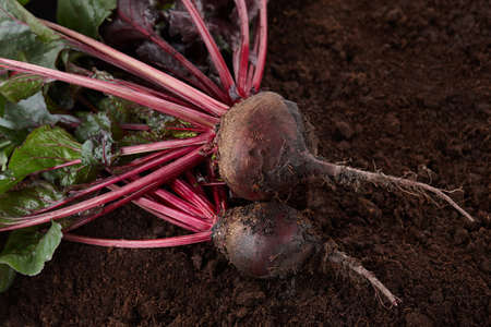 Fresh harvested beetroots. Organic beet on soil background. Standard-Bild