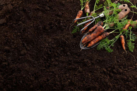 Fresh juicy carrots with greens in garden on soil background Standard-Bild