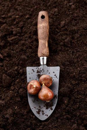 Planting tulip bulbs in soil with garden hand shovel, close up view Standard-Bild