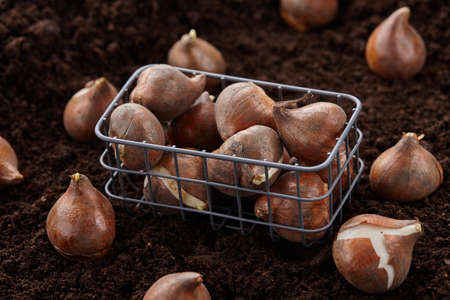 Planting tulip bulbs in soil, close up view