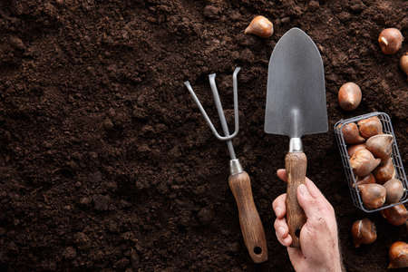 Planting tulip bulbs with hand tools in soil, copy space