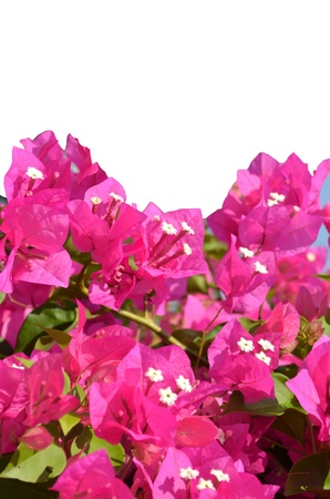 The Bougainvillea is a Climber of spectabilis Willd. of  Nyctaginaceae. photo