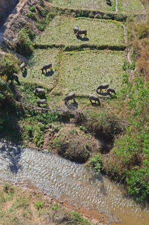 folkways: The buffalos graze on field beside the canal