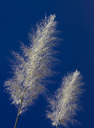 The Feather Grass with Navy Blue Sky Background