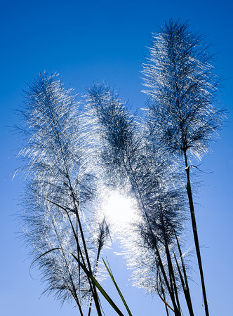 The Feather Grass with Sun Background  Stock Photo