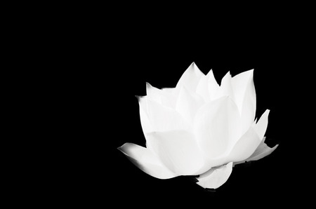 The white lotus on solid black background  Stock Photo