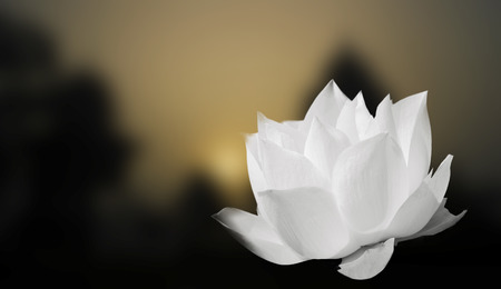 The White Lotus on the blur background  Stock Photo
