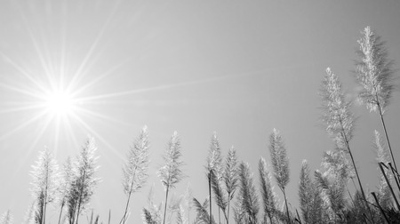 The Feather Grass Flower and the Sun is in Black and White. Stock Photo
