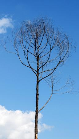 arbre mort: L'arbre mort sur Blue Sky. Banque d'images