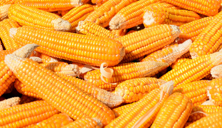The Pile of Corn. Stock Photo