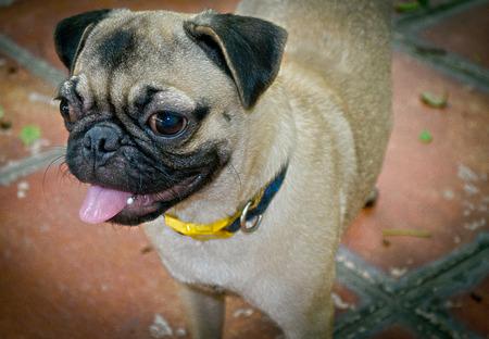 pedigree: The Pedigree of Friendly Cute Puppy Dog.