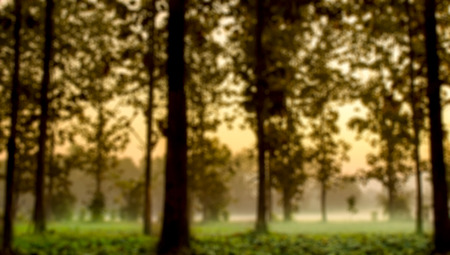 The Blur Bright Teak Tree and mist in Wood Lot Stock Photo