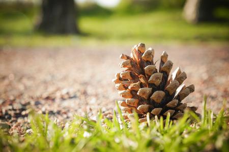 pomme de pin: C�ne de pin dans le jardin
