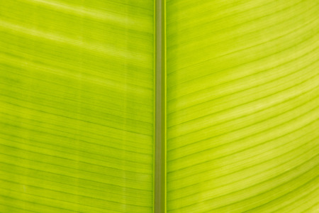 heliconia: Heliconia Leaf