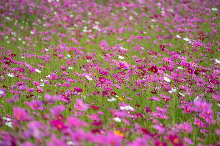 Cosmos Flower in the field