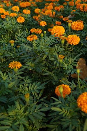 ix: Colorful flower at Suan Luang Rama IX, Bangkok Stock Photo