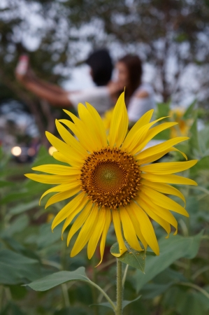 ix: SunFlower at Suan Luang Rama IX, Bangkok