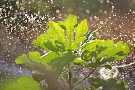 Arroser un figuier en journée ensoleillée, avec la lumière du soleil sur les feuilles. Banque d'images