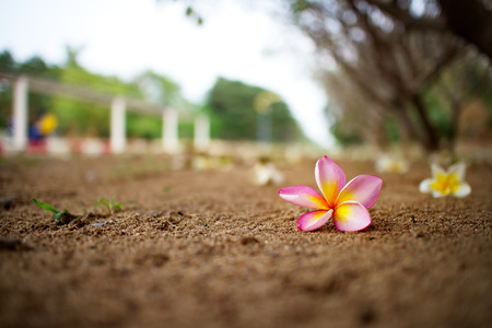Colorful Plumeria on the ground under its tree.