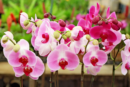 Pink and red phalaenopsis orchids flowers blooming in orchid nursery.