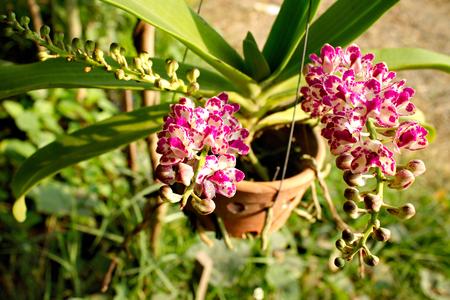 gigantea: Pink white Rhynchostylis gigantea orchid flower blooming. Stock Photo