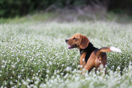 beagle terrier: A cute beagle dog is playing in the wild flowers field.