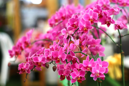 Pink phalaenopsis orchid flowers are blooming in the orchid nursery. Stock Photo