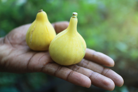 panache: Two Panache yellow green stripe  figs fruits in hand.