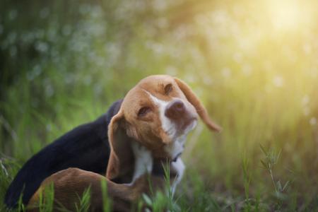 De beaglehond krast zijn lichaam in het wiild bloemgebied. Stockfoto