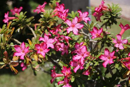 Pink Adenium flowers outdoor under the sunlight. Stock Photo