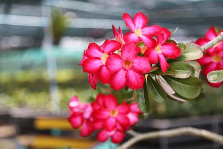 Red pink Adenium flowers blooming in plants nursery. Stock Photo