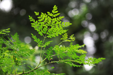 drumstick tree: Moringa leaves ,branches and its  budding flowers.