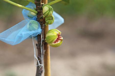 panache: Panache fig fruit broke up on rainy season.