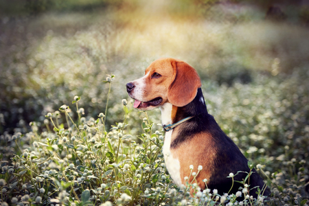 beagle terrier: A beagle dog is  sitting in the wild flowers  field.