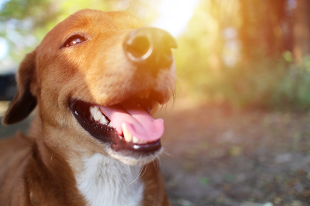 A cute brown dog smiles outdoor in fall under the sun light. Stok Fotoğraf