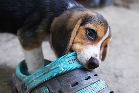 An adorable beagle puppy hold a dirty shoe in its mouth.