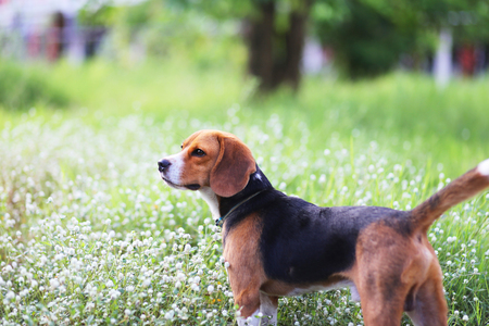 An adorable beagle dog  plays in the wild flowers field.