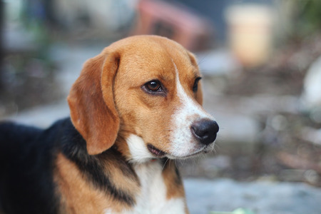 Portrait of a cute beagle dog outdoor in the courtyard. Stok Fotoğraf