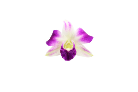 Dendrobium orchid flower isolated on white background.